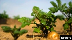 FILE - A potato grows in a field irrigated by recycled wastewater in Kibbutz Magen in southern Israel.