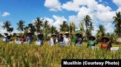 Panen raya padi metode SRI di Sumba Timur, Kamis 25 April 2019 (courtesy: Muslihin)