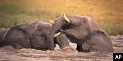 Elephants play in a waterhole in South Africa