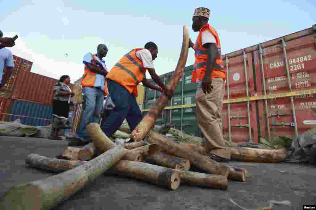 Kenya Ports Authority workers and Kenya Wildlife Services officials arrange elephant tusks recovered at the container terminal in the coastal city of Mombasa, July 8, 2013.