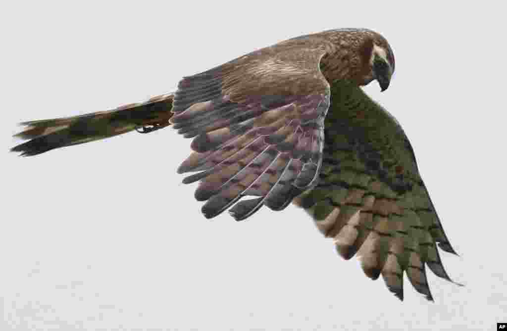 تصویری از یک عقاب به دنبال شکار در بلاروس