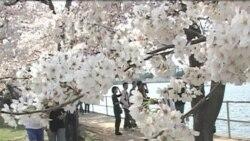 Festival Bunga Sakura di Washington DC (Bagian 1) - Warung VOA