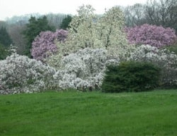Magnolias blooming in spring at the National Arboretum