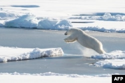 FILE - This U.S. Coast Guard photo obtained Aug. 24, 2015 shows a polar bear observed off Coast Guard cutter Healy's stern, on Aug. 23, 2015, while the cutter is underway in the Arctic Ocean in support of Geotraces.