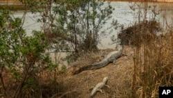 Los caimanes en Paraguay son amenazados por una intensa sequía.