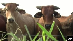 Recent studies at an international agricultural research institute in Colombia have shown that a grass used to feed livestock, known as Brachiaria, could help reduce greenhouse gas emissions from livestock and agriculture and reduce the use of commercial