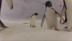 Chim cánh cụt -- thước đo sự lành mạnh của đại dương