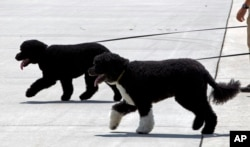 The President's dogs Bo, front, and Sunny walk on the tarmac by their handlers to board Air Force One before the arrival of President Barack Obama and his family at Andrews Air Force Base, Md., Aug. 6, 2016. The first family is traveling to Martha's Vineyard for summer vacation.