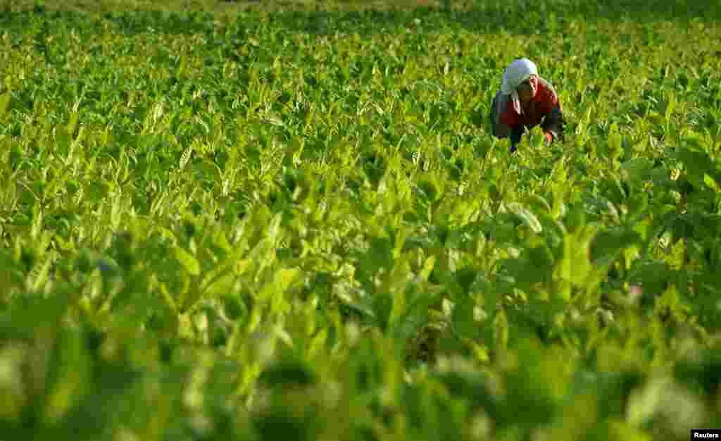 ایک بلغاروی ایتھینک ترکش عورت تمباکو کے پتے جمع کرتے ہوئے۔ بلغاریہ تمباکو کی پیداوار میں مشہور ملک ہے