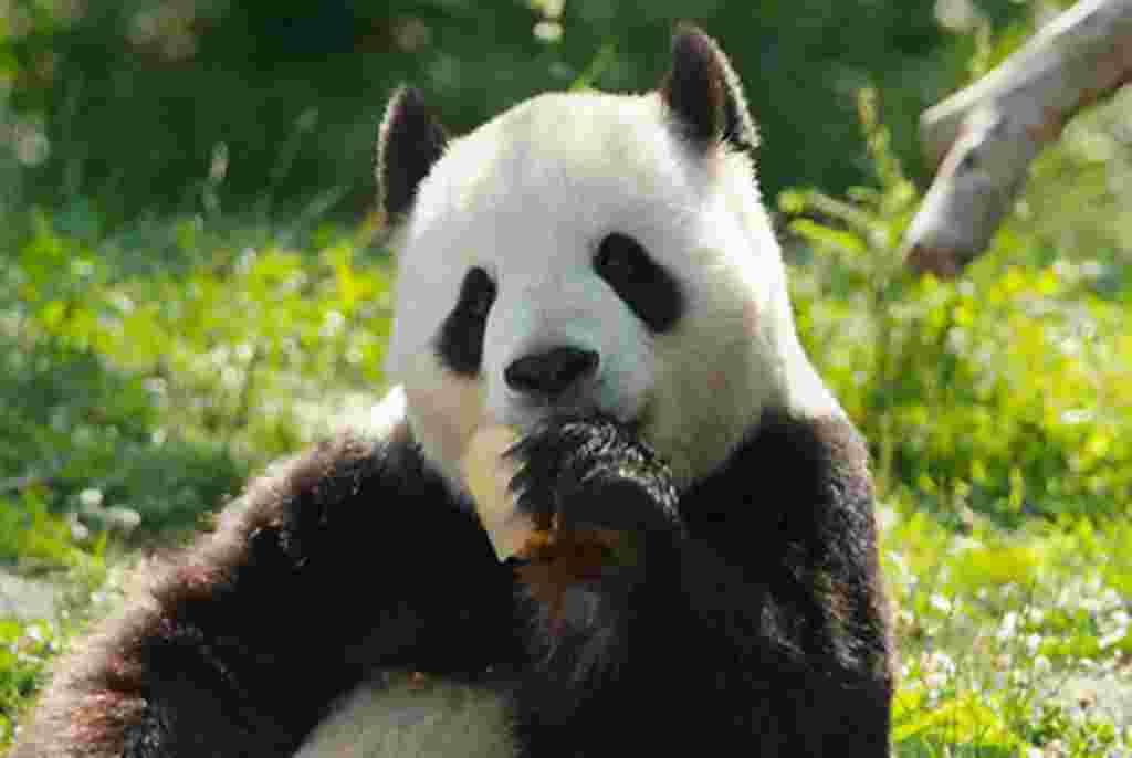 Artículos para el enriquecimiento, como una bolsa de arpillera, caja o frutas congeladas y jugos (que Tiantian está disfrutando de aquí), ayudar a los animales a demostrar su comportamiento natural.