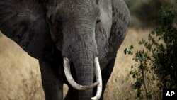 FILE - An African elephant walks in Tarangire National Park, 118 kilometers (75 miles) southwest of Arusha, Tanzania.