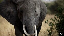 Gajah Afrika di Taman Nasional Tarangire, 118 kilometer sebelah barat daya Arusha, Tanzania. (AP/Nariman El-Mofty)