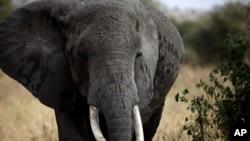 Un éléphant africain marche dans le parc national de Tarangire, à 118 km de Arusha, Tanzanie, le 9 août 2013.