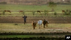 A farmer herds his cattle at sunset near Kisumu, Kenya, Feb. 2, 2008.
