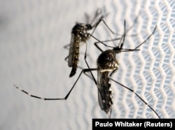 FILE PHOTO: Aedes aegypti mosquitoes are seen inside Oxitec laboratory in Campinas, Brazil, February 2, 2016.