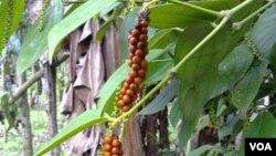 Pimenta madura em São Tomé e Príncipe