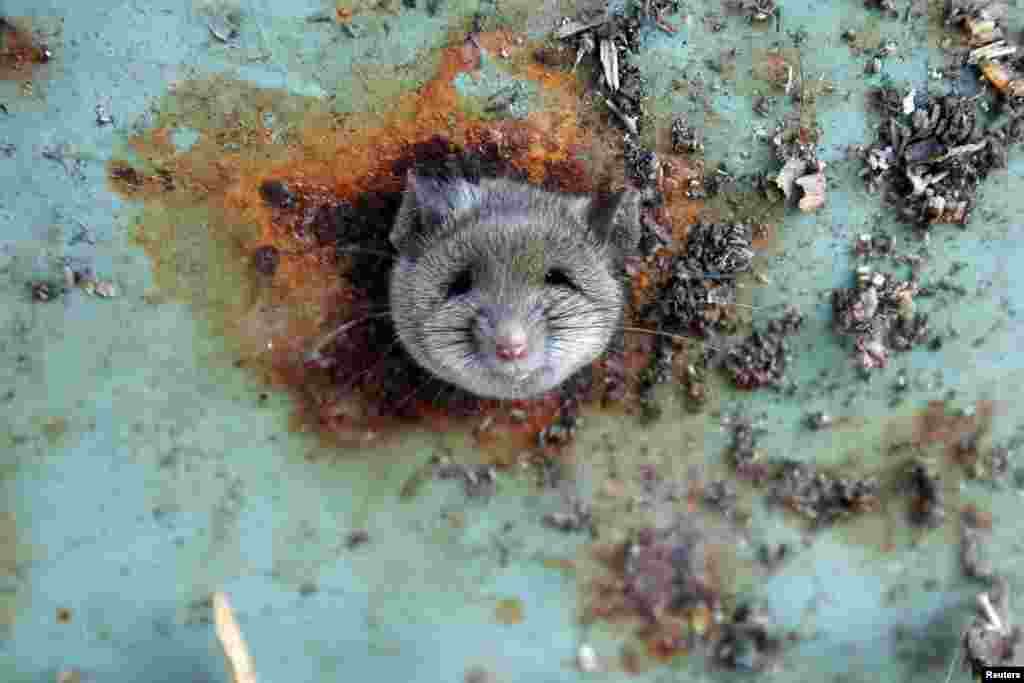 A rat's head rests as it is constricted in an opening in the bottom of a garbage can in the Brooklyn borough of New York.