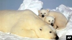 A polar bear and her cubs rest on an ice pack in the Arctic Ocean.