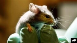 Mice hold the key to the Fountain of Youth? Stranger things have happened!