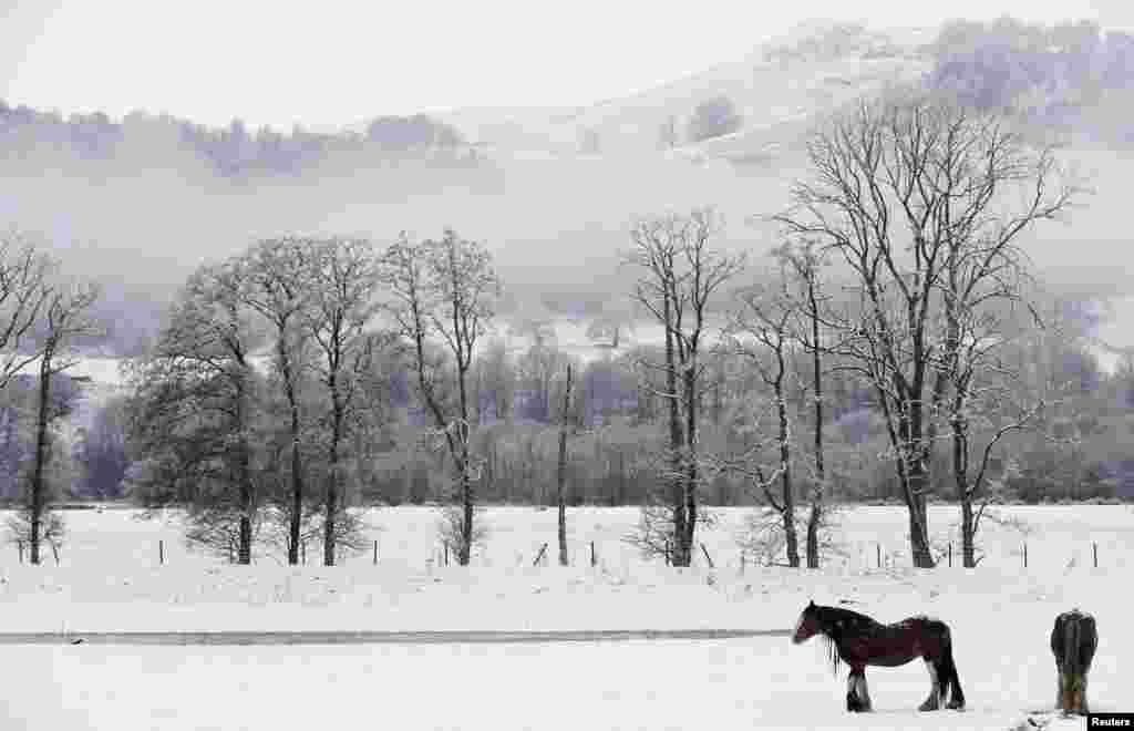 សេះឈរនៅក្នុងវាលស្រែដែលគ្របដណ្តប់ទៅដោយព្រិល នៅតំបន់ Perthshire ប្រទេសស្កុតឡែន (Scotland)។