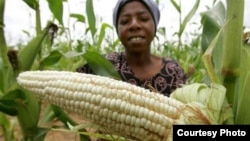The maize crop is a disaster this year due to a devastating drought and heavy rains that soaked crops in some parts of Zimbabwe