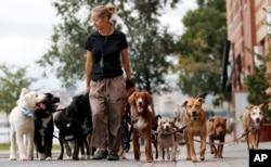 Kathleen Chirico walks several dogs as part of her daily routine as a dog walker, Wednesday, Sept. 30, 2015, in Hoboken, N.J. (AP Photo/Julio Cortez)