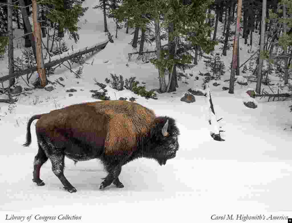 Bison in Yellowstone National Park (Carol M. Highsmith, Library of Congress Collection)