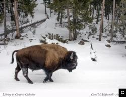 Bò rừng ở Công viên Quốc gia Yellowstone. (Ảnh: Carol M. Highsmith, Bộ sưu tập Thư viện Quốc hội).
