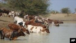 Gado angolano nos Gambos, Huíla