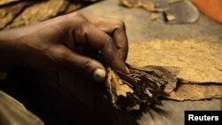 A woman rolls a cigar at the Cohiba cigar factory 'El Laguito' in Havana, September 10, 2012.