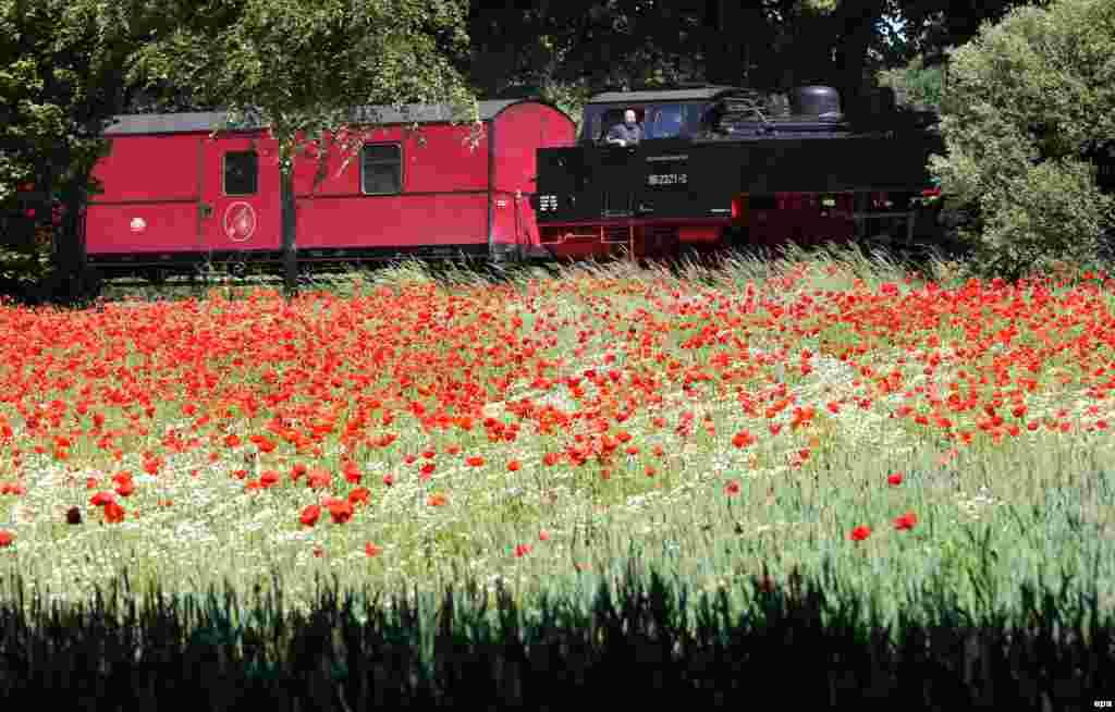 Sebuah kereta lokal melewati perkebunan yang dipenuhi bunga camomile dekat kota Bad Doberan, Jerman.