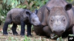 A female Sumatran rhino named Ratu, right, is seen with her newly-born calf at Way Kambas National Park in Lampung, Indonesia. (Photo: AP)