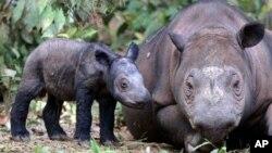 Một tê giác con vừa mới sinh đứng cạnh mẹ