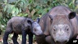 Badak Sumatra di Taman Nasional Way Kambas, Lampung. Taman Nasional Leuser di Aceh juga menemukan badak langka di tempatnya. (Foto: AP)