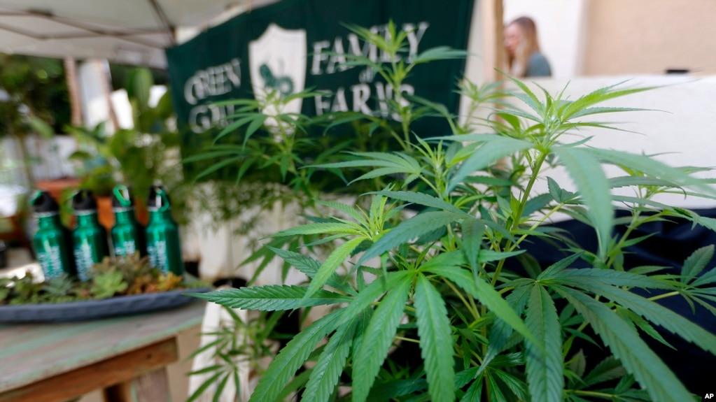 """加州长滩举行的""""大麻州""""业界会议上展出的一家名为""""绿色山羊""""农场种植的大麻。(2017年9月28日)"""