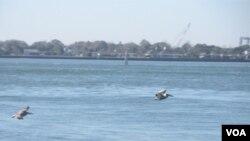 Vilano Beach dispone de nueve áreas naturales para la protección de 125 especies de aves como los pelicanos