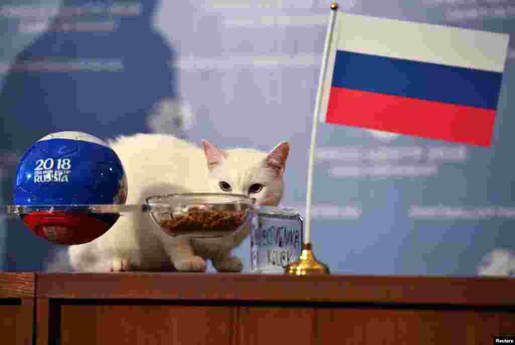 آشیل نام گربهای است که قرار است بازیهای جام جهانی ۲۰۱۸ را پیش بینی کند. گربه پیشگوی روسی در یک پیش بینی جالب از برتری سعودی ها برابر روسیه در افتتاحیه جام جهانی ۲۰۱۸خبر داده است.