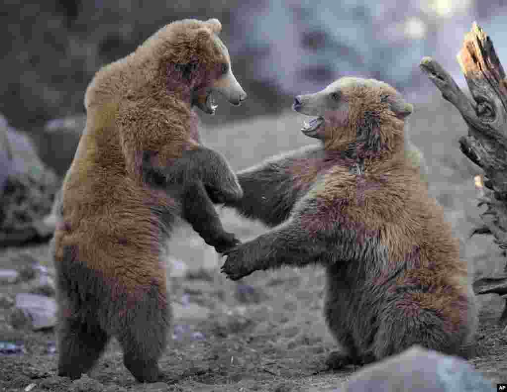 بازی دو خرس جوان در هوای سرد در باغ وحشی در شهر گلزنکیرشن آلمان.