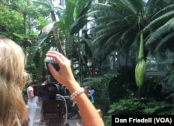 A journalist takes a photo of the titan arum, a smelly plant about to blossom in Washington, D.C.