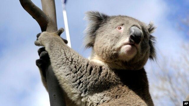 El año pasado, el estado de Victoria, en Australia, practicó la eutanacia a unos 700 koalas debido a la superpoblación.