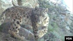 Macan tutul salju (snow leopard) yang langka, tertangkap kamera video oleh pecinta alam dari Wildlife Conservation Society di kawasan pegunungan, Afghanistan timur laut ((15/7).