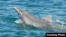 Two dolphins from the as-of-yet unnamed species of humpback dolphin are shown off northern Australia. The discovery will help conservationists and decision makers to formulate new policies to safeguard these marine mammals. (Guido Parra)