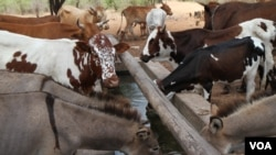 FILE - Healthy livestock have a drink in Mathafeni village in Lupane, about 600 kilometers southwest of Harare, Zimbabwe. Livestock and other movable assets could be used to secure bank loans under a bill lawmakers are to receive this week.