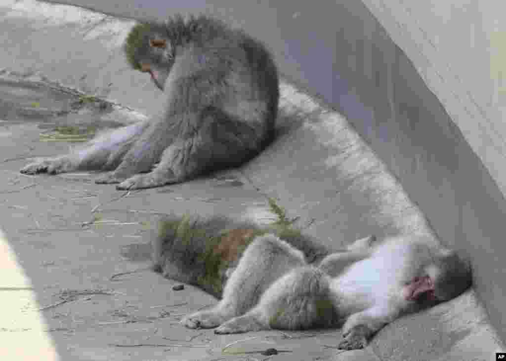 چرت زدن میمون های ماکاک ژاپنی یا همان میمون های سفید باغ وحش اوئنو ژاپن در سایه و به دور از گرما