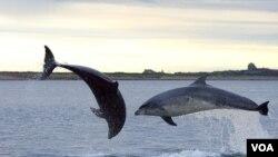 Mengkonsumsi lumba-lumba yang tercemari merkuri, beresiko tinggi bagi kesehatan.