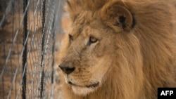 Un lion d'un cirque à Vaalwater, en Afrique du Sud, le 1er mai 2016.