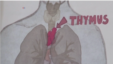 Image shows the location of the thymus. (MRC Center for Regenerative Medicine, University of Edinburgh)