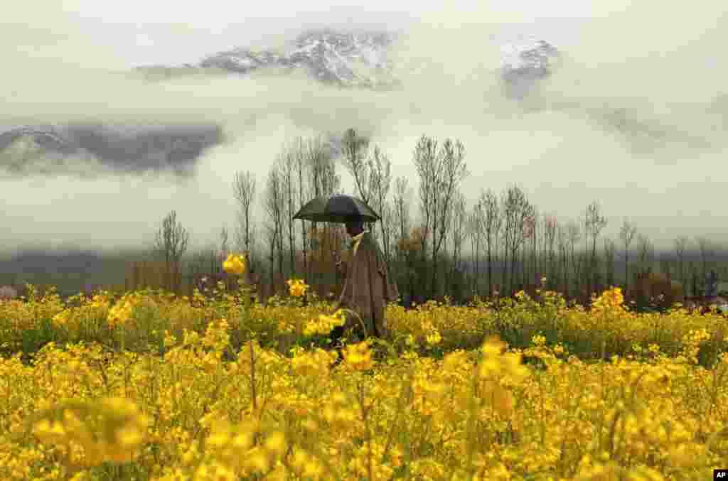 Keşmir'de yağmurlu bir günde hardal tarlasında yürüyen adam.