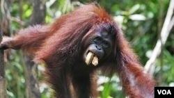 Orangutan banyak dibunuh masyarakat karena dianggap sebagai hama perkebunan dan juga untuk diambil dagingnya. (Foto: Dok)