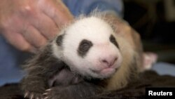 미국 캘리포니아 샌디에이고 동물원에서 태어난 새끼 자이언트 판다가 검진을 받고 있다.(자료사진)